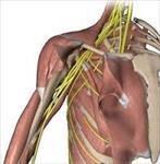 پاورپوینت-اعصاب-و-عروق-اندام-فوقانی