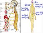 پاورپوینت-فيزيولوژي-اعصاب-(ویژه-ارائه-کلاسی-درس-فیزیولوژی-ورزشی)