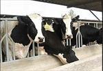 تحقیق-اصول-و-راه-کارهای-پرورش-گاو-شیری-و-گوساله