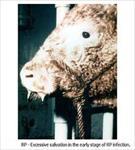 پاورپوینت-بیماری-طاعون-گاوی-(rinder-pest)