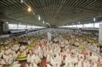 طرح-توجیهی-احداث-مرغداری-گوشتی-به-ظرفيت-10000-قطعه