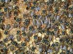 طرح-توجیهی-پرورش-و-نگهداری-زنبور-عسل-به-همراه-پاورپوینت