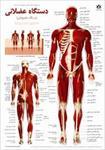 پاورپوینت-آناتومی-دستگاه-عضلانی