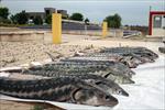 جزوه-آموزش-پرورش-ماهیان-خاویاری-(پرورش-تکثیر-و-بیماری-ها)-به-همراه-تصاویر