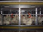 پاورپوینت-وسایل-و-لوازم-مرغداری-های-گوشتی-و-تخم-گذار