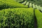 طرح-توجیهی-تولید-چای-صنعتی