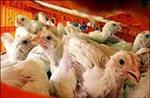 تحقیق-بیماری-آنفولانزای-مرغی