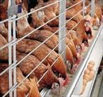 طرح-توجیهی-احداث-واحد-مرغداری-تخم-گذار