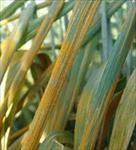 پاورپوینت-بيماري-هاي-گندم-(بیماری-های-غلات-wheat-diseases)
