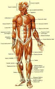 پاورپوینت با موضوع آناتومی بدن انسان