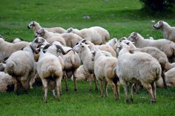 رفتارشناسی کاربردی گوسفندان