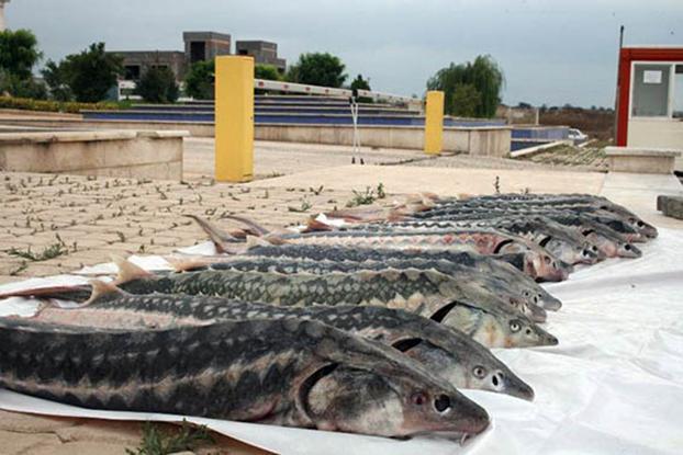 جزوه آموزش پرورش ماهیان خاویاری (پرورش تکثیر و بیماری ها) به همراه تصاویر