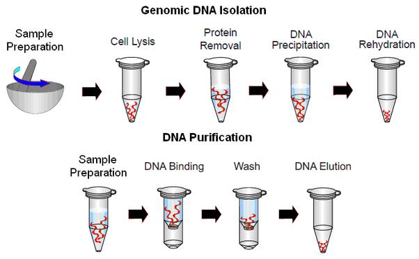 پاورپوینت روش های استخراج DNA از بدن (DNA EXTRACTION METHODS) به زبان انگلیسی