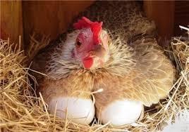 پاورپوینت مروری بر انرژی در جیره غذایی و ارتباط آن با پروتئین (مرغ تخم گذار)